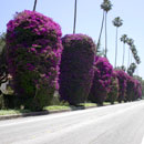Bougainvilla-130-x-130-TREES-Page