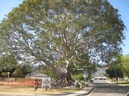 moreton bay fig tree - 655 s santa fe ave