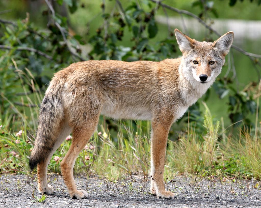 Picture of a 0Coyote